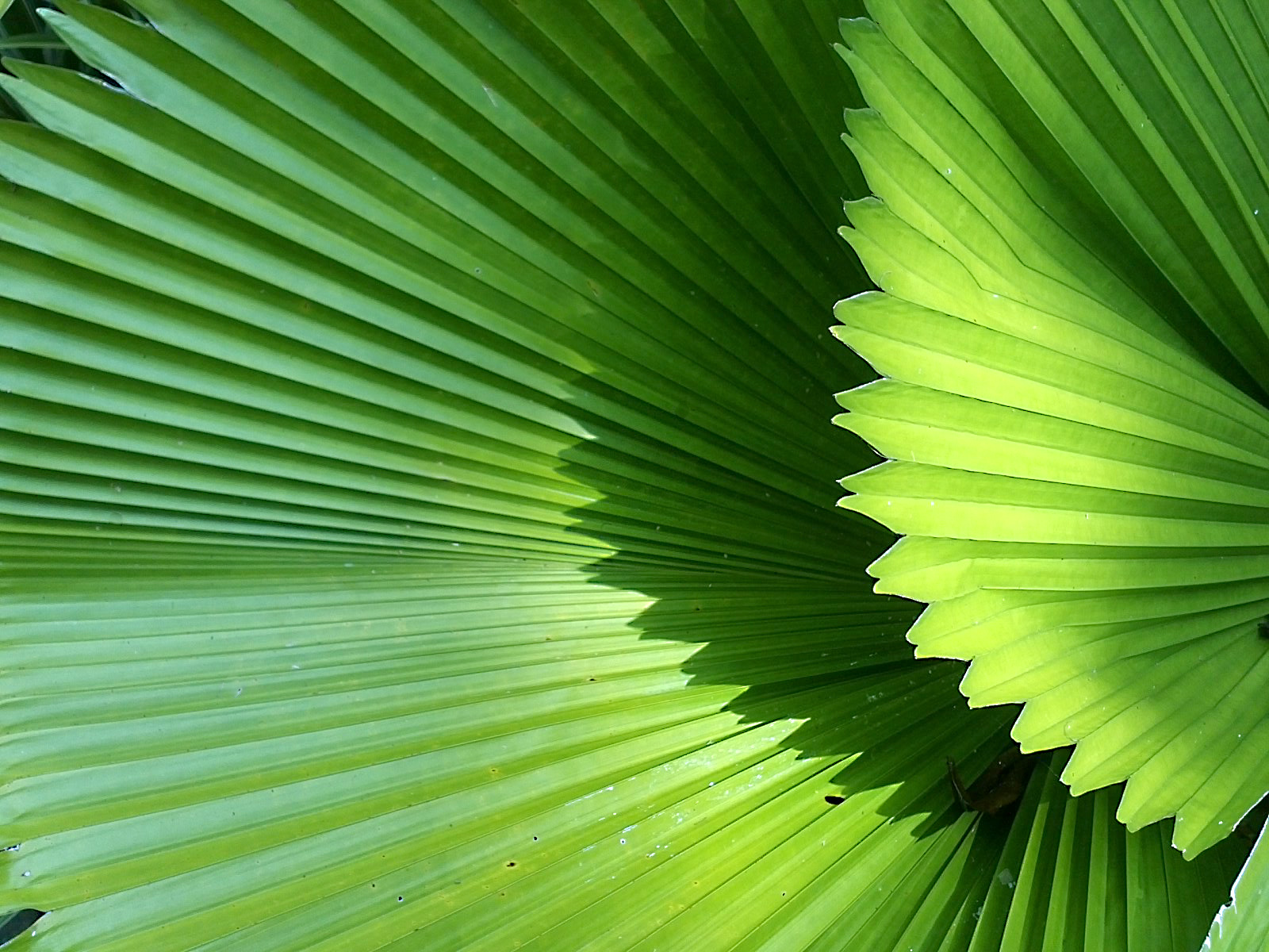 Palm-leaf2